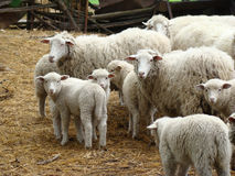 Sheep. A source of meat and wool picky animal common in Europe Royalty Free Stock Photography