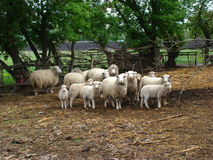 Sheep. Source of meat and wool,picky animal spread throughout Europe Stock Image
