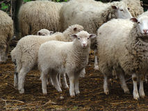 Sheep. Source of meat and wool,picky animal spread throughout Europe Stock Photos