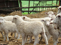Sheep. Source of meat and wool,picky animal spread throughout Europe Royalty Free Stock Image