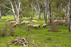 Sheep  in south australia Stock Photography