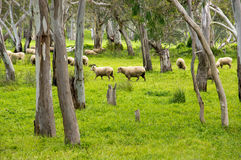 Sheep  in south australia Royalty Free Stock Photography