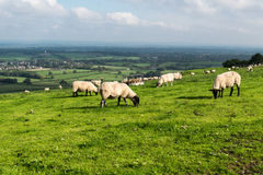 Sheep on the South Downs Stock Photo