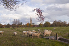 Sheep and spire. Salisbury cathedral and the west harnham water meadows Royalty Free Stock Photography