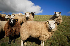 Sheep in spring Stock Image