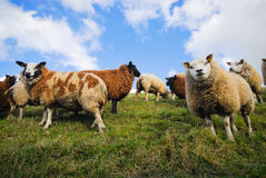 Sheep in spring Royalty Free Stock Photography