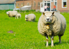 Sheep in spring Stock Image