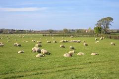 Sheep and spring lambs. Graze in a field in Somerset England Stock Image