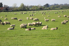 Sheep and spring lambs Royalty Free Stock Photos
