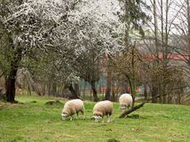 Sheep in spring Stock Photo