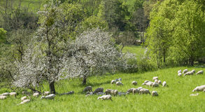 Sheep at spring time Royalty Free Stock Image
