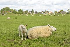 Sheep in springtime Stock Image