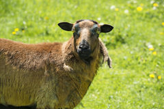 Sheep in springtime Stock Photo