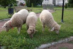 Sheep in the square Royalty Free Stock Photography