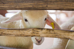 Sheep in stable Royalty Free Stock Photo