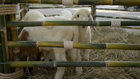 Sheep in stable. stock footage