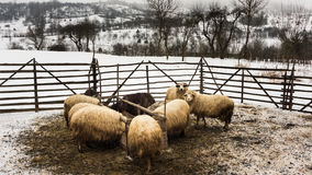 Sheep stable. In winter sheep are kept at home but during the other part of the year they roam on the mountains all day Royalty Free Stock Photos
