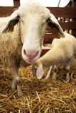Sheep in the stall. Mother sheep and young one in the stall on animal farm royalty free stock photos