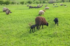 Sheep stall on green field. Sheep grazing on a green meadow in the spring Stock Photos