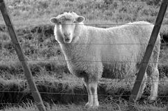 Sheep stand behind a fence of a sheep farm Royalty Free Stock Photos