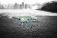 Sheep. Stand in a field, one notices the photographer while the rest graze on a frosty afternoon Stock Photo