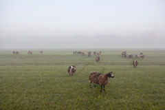 Sheep stand and graze in early morning misty meadow in the nethe Royalty Free Stock Image