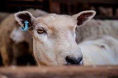 Sheep standing Royalty Free Stock Photo