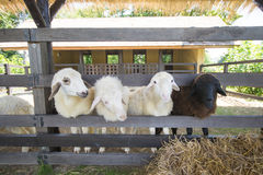 Sheep standing behind the fence in the farm Royalty Free Stock Photography