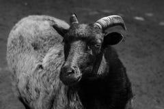 Sheep. Royalty Free Stock Photos