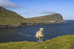 Sheep standing at the edge of the cliff in Faroe Islands, Denmark. Sheep standing at the edge of the cliff with a view at the ocean in Faroe Islands, Denmark royalty free stock photography