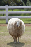 Sheep standing in farm Royalty Free Stock Photo