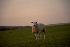 Sheep standing on farmers field Stock Photo