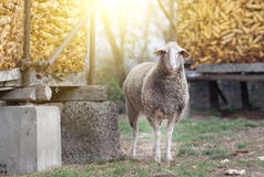 Sheep standing on farmland Stock Images