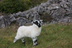 Sheep Royalty Free Stock Photos