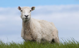 Sheep. Is standing in the field Royalty Free Stock Photos