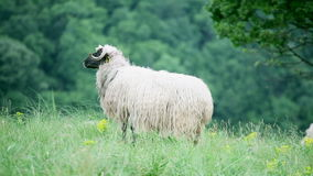 Sheep standing in the field stock footage