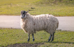 Sheep standing. In Grass Field Royalty Free Stock Image