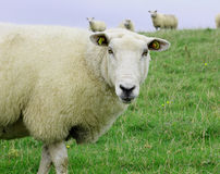Sheep standing in green field.  Stock Photography