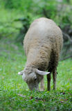 Sheep standing in green field Royalty Free Stock Photos