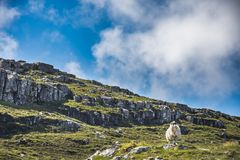 Sheep standing on the hill, surrounded by Lewisian gneiss rocks stock images