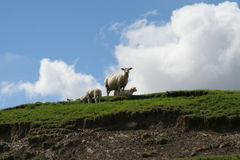 Sheep standing on a hillside. With blue sky royalty free stock photography