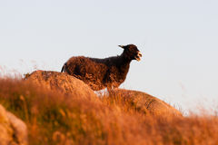 Sheep standing on a hilltop Stock Photos
