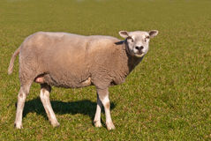 Sheep standing in the meadow Royalty Free Stock Photos