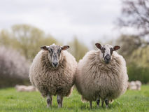 Sheep standing in meadow. Two woolly sheep standing in meadow royalty free stock photos