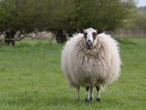 Sheep standing in meadow. Woolly sheep standing in meadow stock images