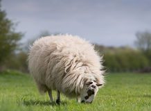 Sheep standing in meadow. Woolly sheep grazing in meadow stock photography