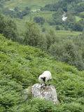 Sheep. Standing on mountain rock with green vegetation all around Royalty Free Stock Photography