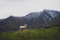 Sheep standing in New Zealand mountains stock image