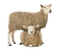 Sheep Standing Over Another Lying Stock Image