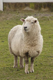 Sheep. Standing in paddock Stock Photography